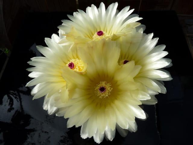 Floraison de notocactus