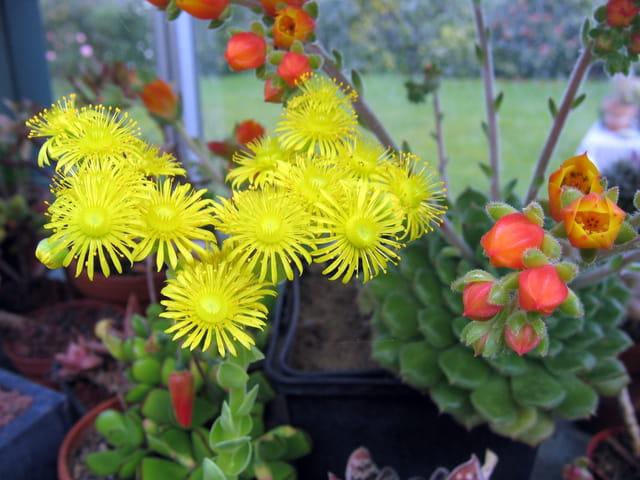 Floraison de succulentes