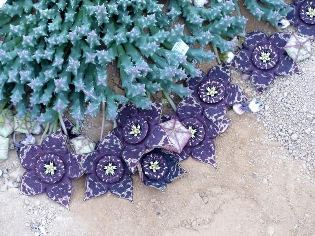 Floraison des stapéliées