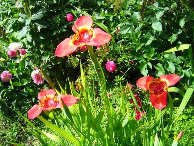 Floraison des tigridias
