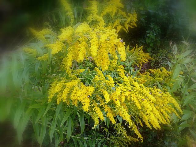 Floraison du solidago au jardin
