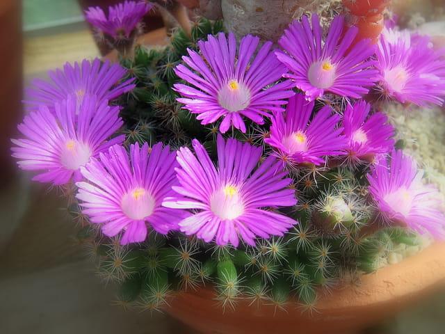 Floraison plante grasse