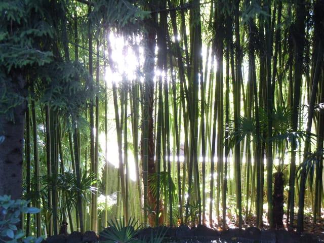 Forêt de bambous noirs