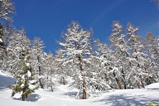 Forêt de mélèzes 1