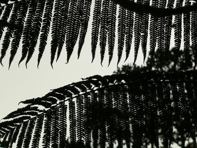 Fougères d'ombre