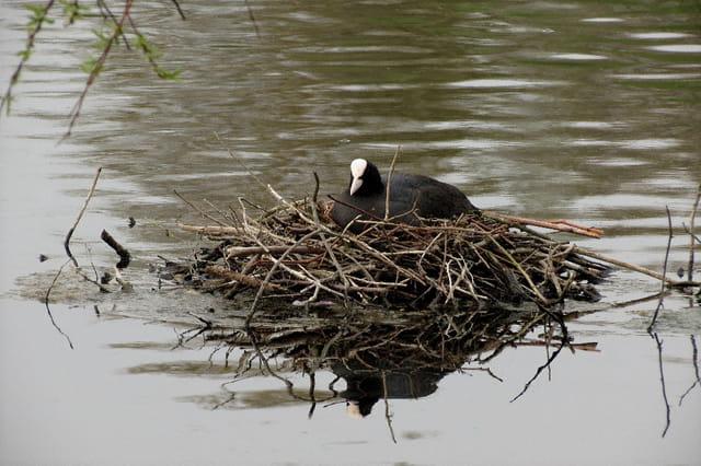 Foulque au nid
