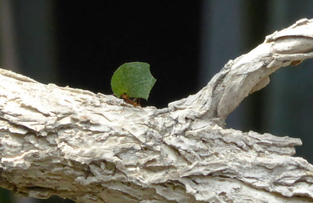 Fourmi champignonniste ou coupeuse de feuille