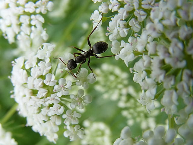 Fourmis noire sur fleur blanche