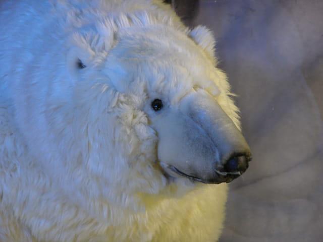 Fourrure blanche pour maman ours automate