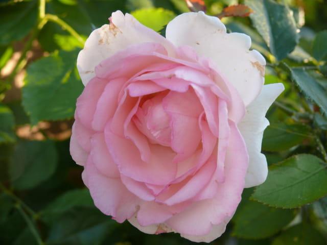 fraicheur rose