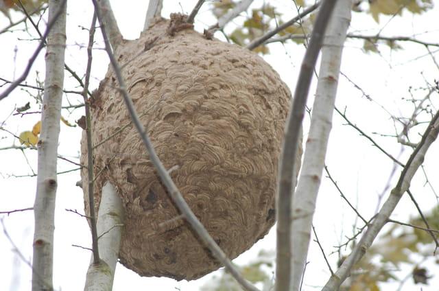 frelon (nid)