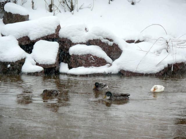 Froid de canards