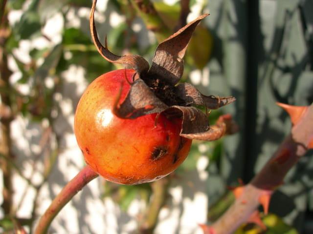 Fruit de la rose
