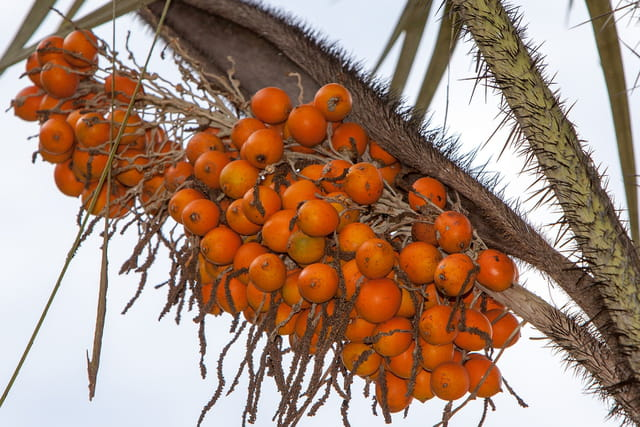 Fruits du palmier Awara