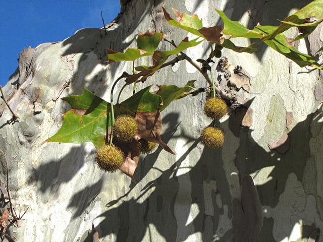 Fruits du platane