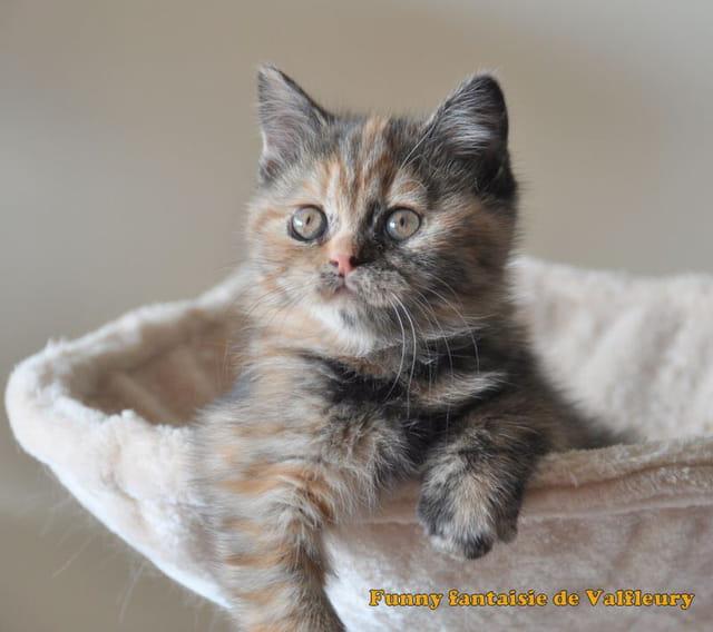 Funny fantaisie de Valfleury chaton scottish straight