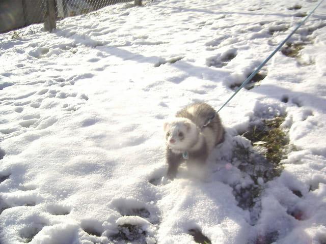Furet dans la neige