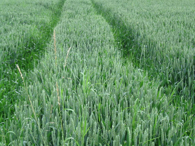 Futur champ de blé