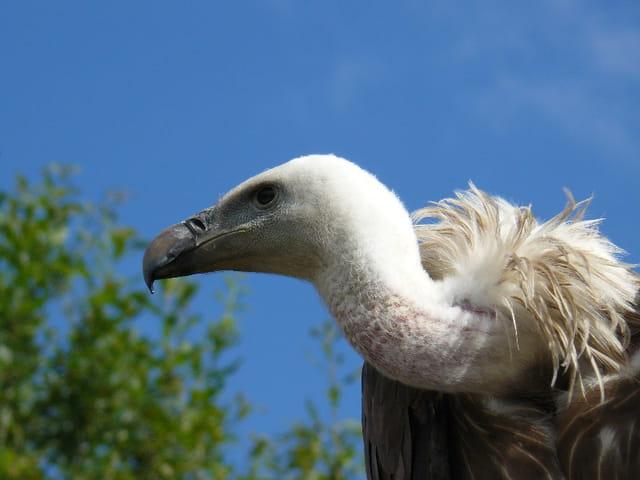 Gare au vautour
