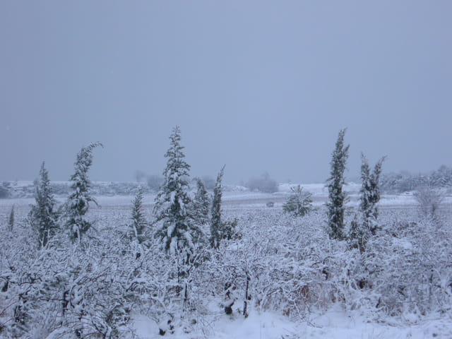 Garrigue sous la neige