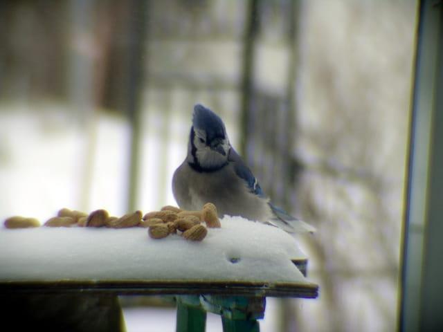 Geai bleu avec son dîner