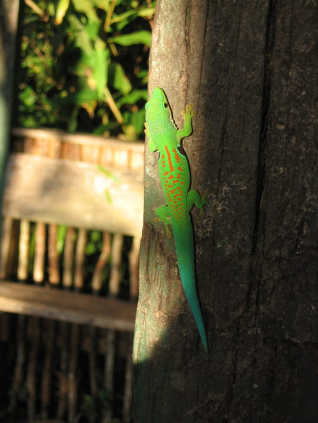 Gecko lézardant