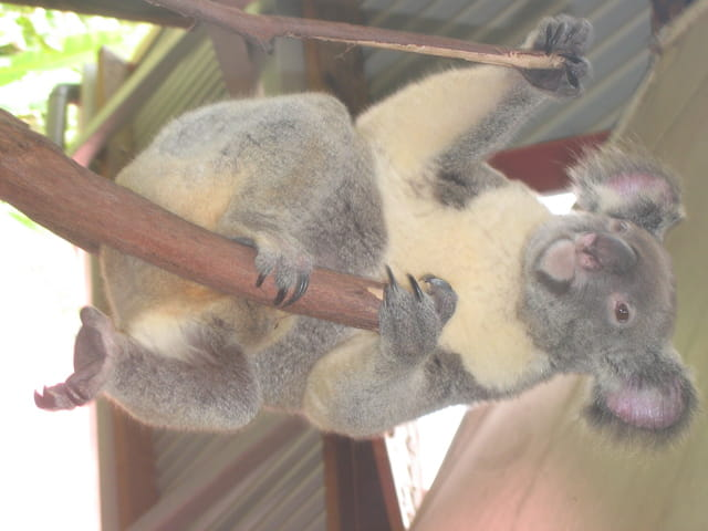 Gentil koala