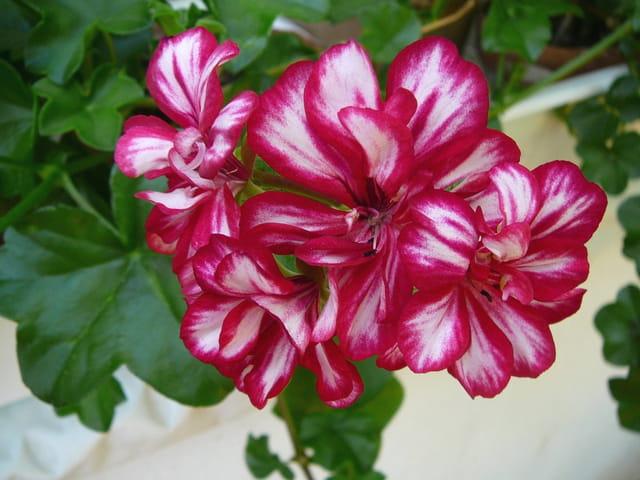Géranium lierre à deux couleurs