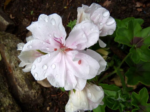 G ranium lierre blanc double par malou troel sur l 39 internaute - Geranium lierre double ...