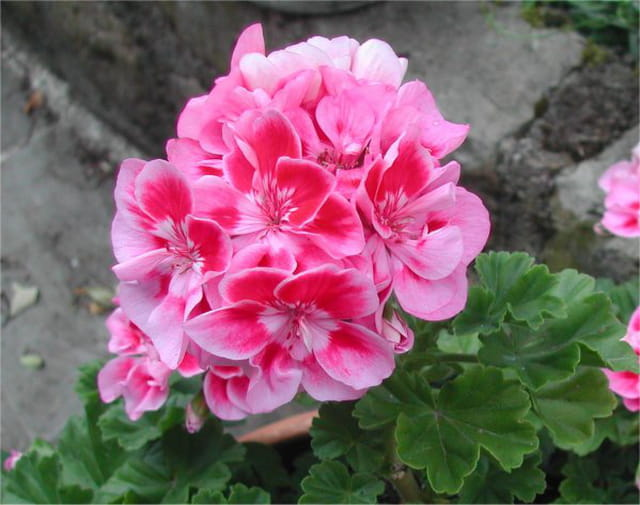 Géranium rose de juin