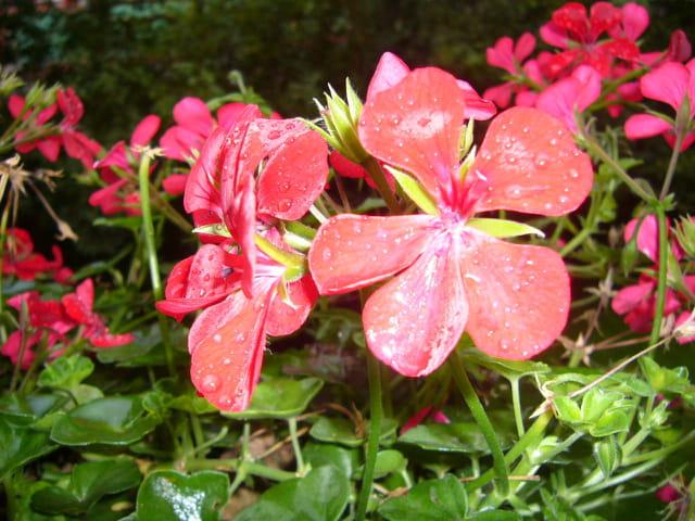 Géraniums après la pluie