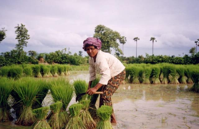 Gerbes de riz