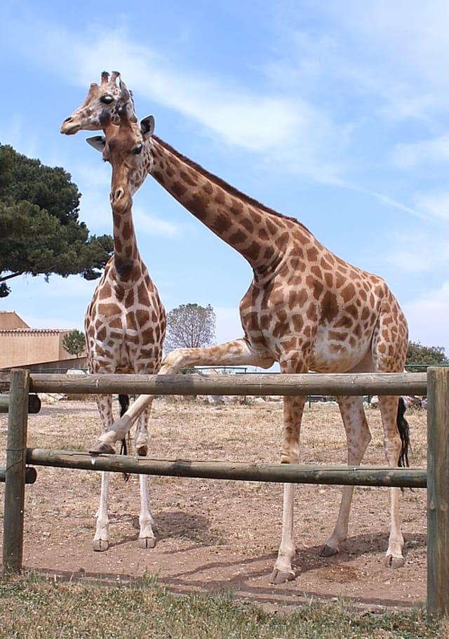 Girafe donnant la patte