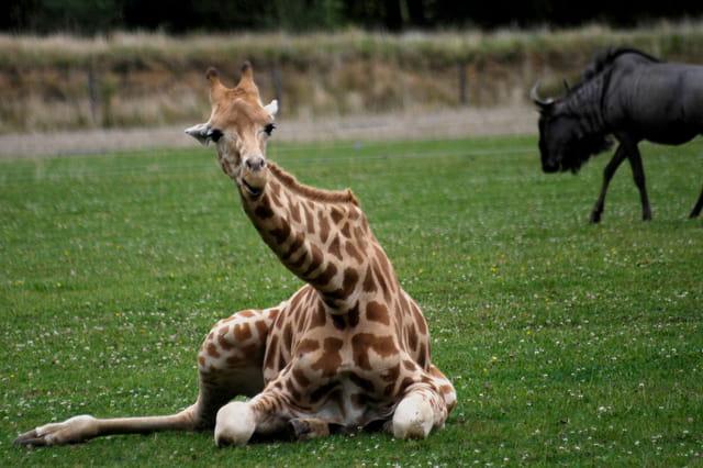 Girafe relax