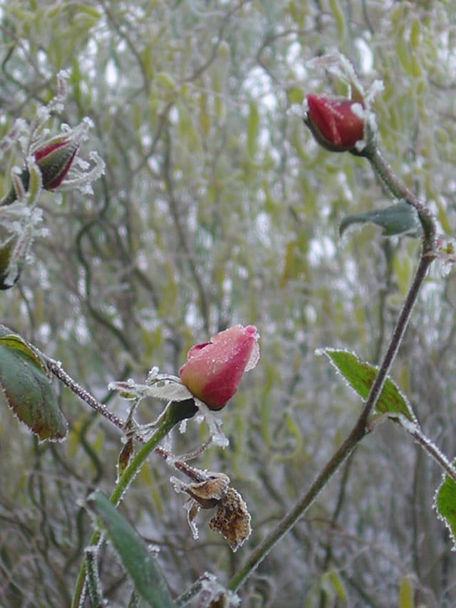 Givre et rose ciselée