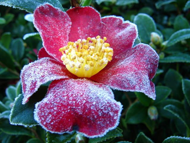 Givre sur fleur de camélia