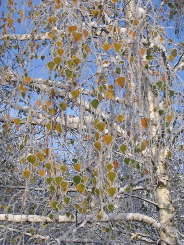 Givre sur les feuilles de bouleau