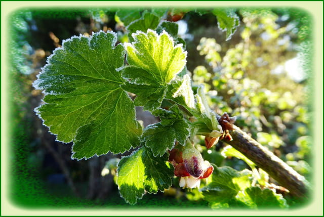 Givre sur les feuilles et les boutons de fleur du casseillier
