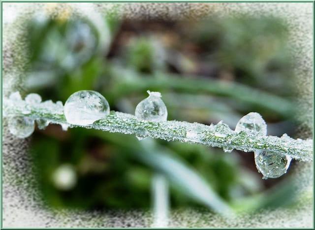 Glaçons givrés sur les plantes ce matin
