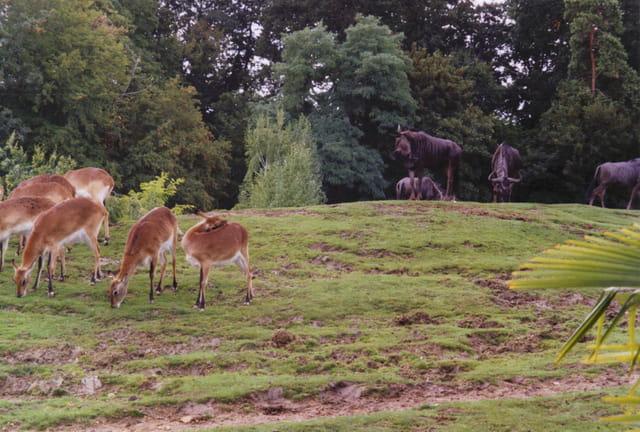 Gnous et gazelles