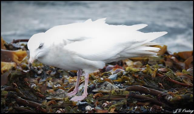 Goéland bourgmestre - Glaucous Gull - Larus hyperboreus .