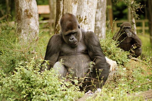 Gorille mâle