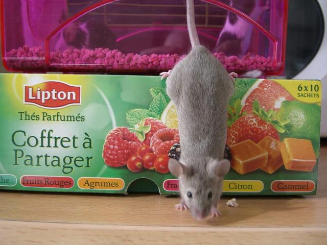 Goulue du thé (souris grise)