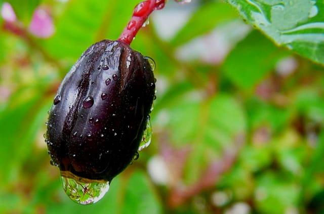 Goutte d'eau sur un fruit de fuchsia
