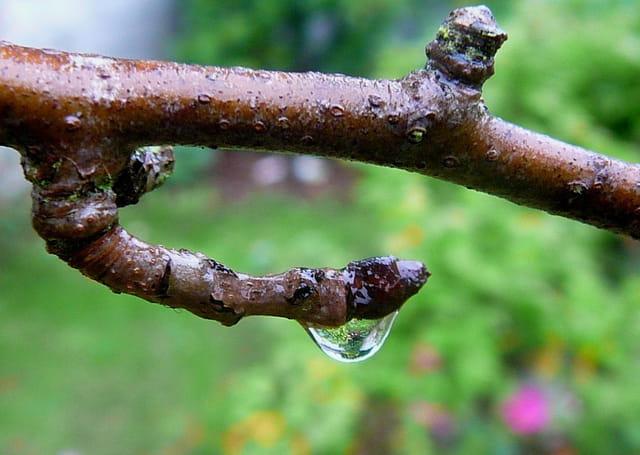 Goutte d'eau sur une branche