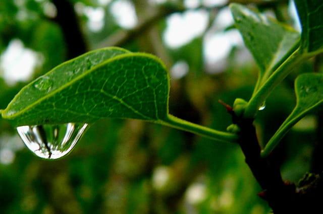 Goutte d'eau sur une feuille de lilas
