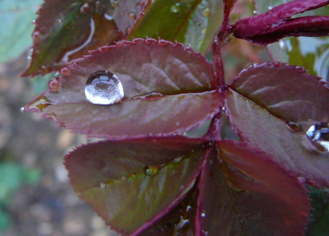 Goutte d'eau sur une feuille de rosier