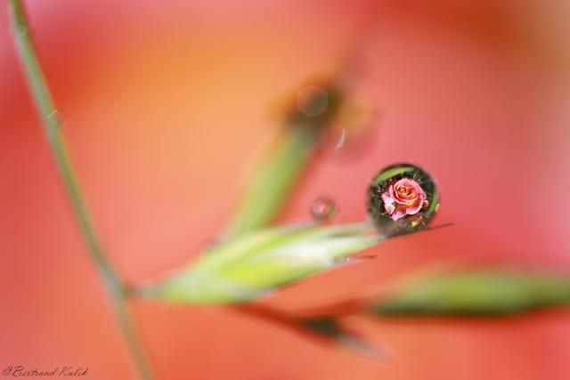 Goutte de rose