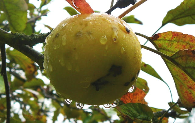 Gouttes d'eau sur une pomme