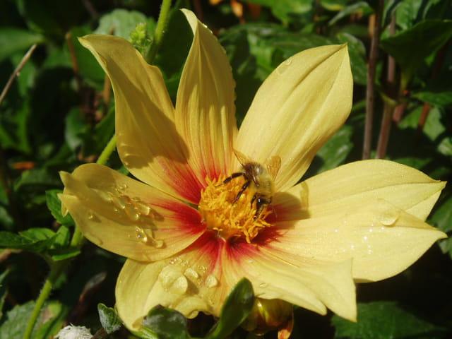 Gouttes de rosée et abeille